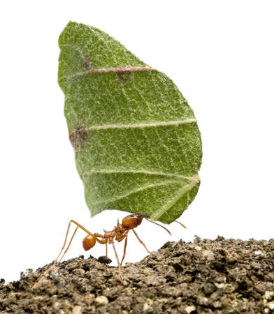 Mrówka liści krajarki, Acromyrmex octospinosus, przewożących liści z przodu białe tło