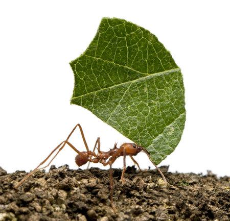 hormiga: Herramienta de corte de la hoja de hormiga, Acromyrmex octospinosus, llevando la hoja delante de fondo blanco Foto de archivo