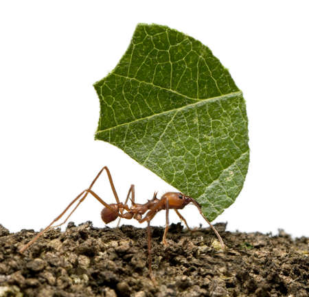Leaf-cutter ant, Acromyrmex octospinosus, carrying leaf in front of white background photo