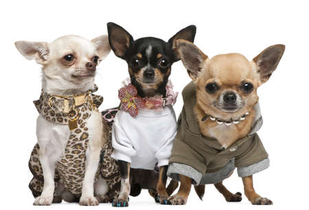chihuahua dog: Three Chihuahuas, 2 years old, dressed up and 1 year old, dressed up and3 years old, dressed up and sitting in front of white background