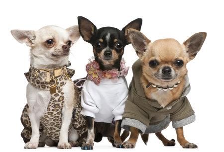 cane chihuahua: Tre le chihuahua, 2 anni di et�, vestito fino e 1 anno di et�, vestita di and3 anni, vestita e seduta davanti a sfondo bianco