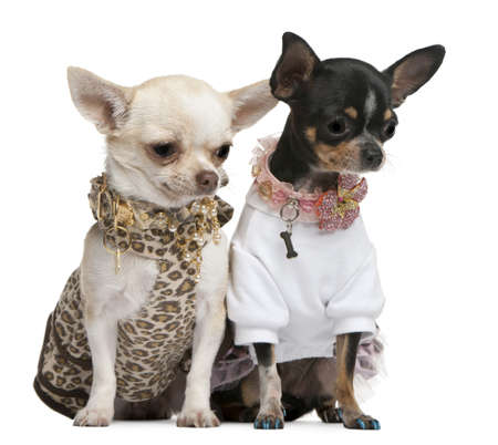 Chihuahuas, 2 years old, dressed up and 1 year old, dressed up and sitting in front of white background photo