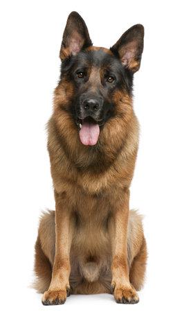 animal tongue: Cane da pastore tedesco, 3 anni, seduto davanti a sfondo bianco  Archivio Fotografico