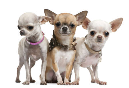 Chihuahuas, 2 years old, standing in front of white background photo