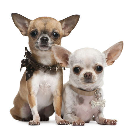 Chihuahuas, 2 years old, sitting and lying in front of white background