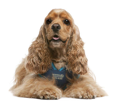 dressed up: American Cocker Spaniel, 3 years old, dressed up and sitting in front of white background