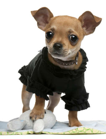 Chihuahua puppy, 4 months old, dressed up and standing in front of white background photo
