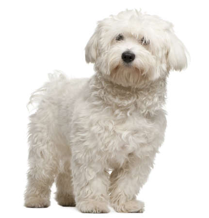Maltese, 8 months old, sitting in front of white background photo