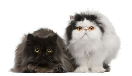 2 years old: Persian cats, 2 years old, sitting in front of white background