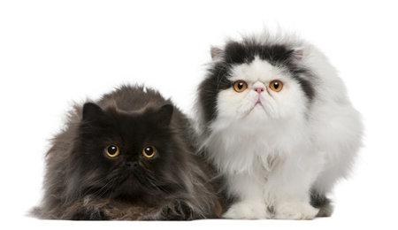 kotów: Perski kotów, 2 lat, siedzÄ…cy z przodu biaÅ'e tÅ'o Zdjęcie Seryjne