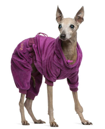 Italian Greyhound, 13 years old, dressed up and standing in front of white background Stock Photo - 8021664