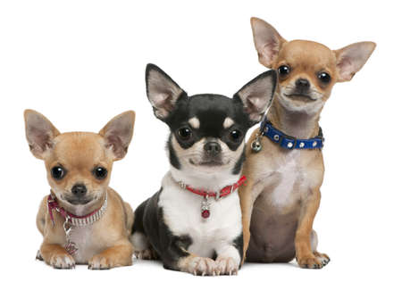 three months old: Chihuahuas, 3 years old, 2 years old, 3 months old, sitting in front of white background
