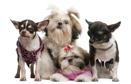 3 4 length: Shih Tzus, 7 months old, 3 months old, and Chihuahuas, 4 years old, 1 year old, dressed up and sitting in front of white background Stock Photo