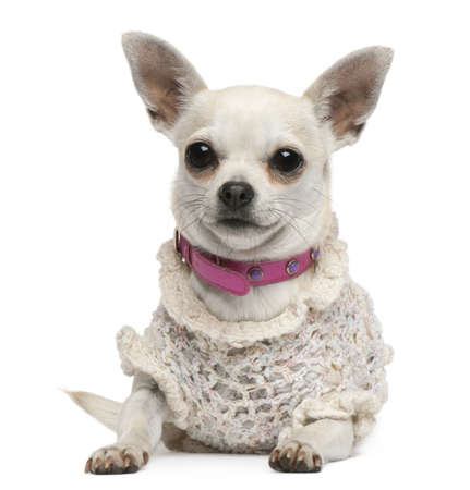 Chihuahua, 4 years old, dressed up and lying in front of white background Stock Photo - 8021170