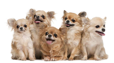 Chihuahuas, 14 years old, 11 years old, 5 years old, 3 years old, 1 year old, sitting in front of white background photo