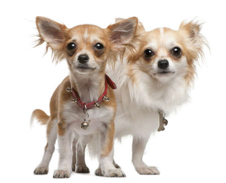 2 5 months: Chihuahuas, 2 years old, 5 months old, standing in front of white background