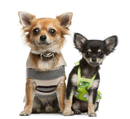 dressed up: Chihuahua puppy, 2 months old and 1 year old, dressed up and sitting in front of white background Stock Photo
