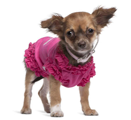 Young Chihuahua dressed in pink standing in front of white background Stock Photo - 8022007