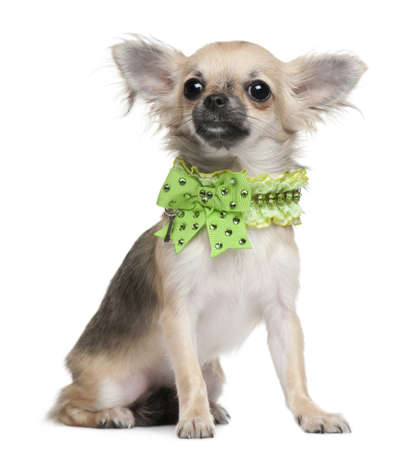 Chihuahua puppy, 6 months old, dressed up and sitting in front of white background photo