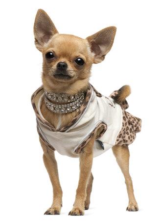 Chihuahua, 14 meses de edad, vestido y de pie delante de fondo blanco
