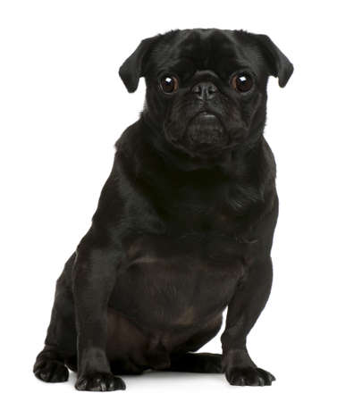 Pug, 4 years old, sitting in front of white background photo