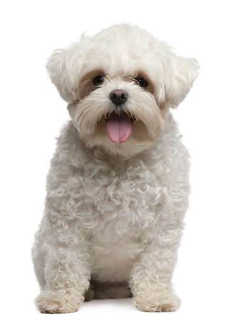 Maltese, 2 years old, sitting in front of white background photo