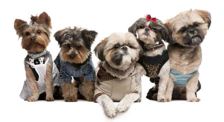 Shih Tzus, 3 years old, 2 years old, 8 months old, and Yorkshire Terriers, 2 years old and 6 months old, dressed up and sitting in front of white background photo