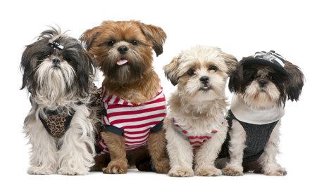 perros vestidos: Shih Tzu, 2 a�os de edad, 18 meses de edad y 8 meses de edad, vestida y sentado frente a fondo blanco