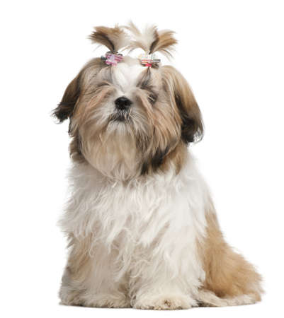 Shih Tzu puppy, 5 months old, sitting in front of white background photo