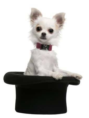 Chihuahua puppy, 3 months old, sitting in top hat in front of white background Stock Photo - 8021647