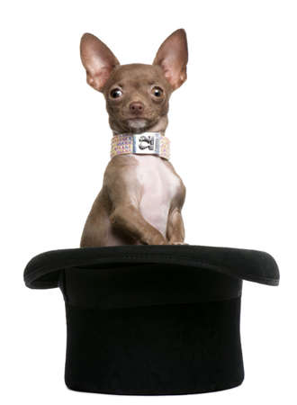 Chihuahua puppy, 6 months old, sitting in top hat in front of white background photo