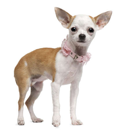 Chihuahua puppy, 6 months old, standing in front of white background Stock Photo - 8021786