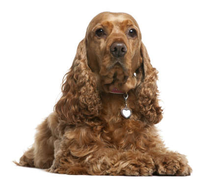 purebreed: English Cocker Spaniel, 5 years old, lying in front of white background