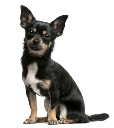 Chihuahua puppy, 5 months old, sitting in front of white background Stock Photo - 8022005
