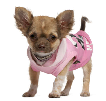 Chihuahua puppy, 3 months old, dressed up and standing in front of white background photo