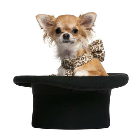 Chihuahua, 7 months old, sitting in top hat in front of white background photo