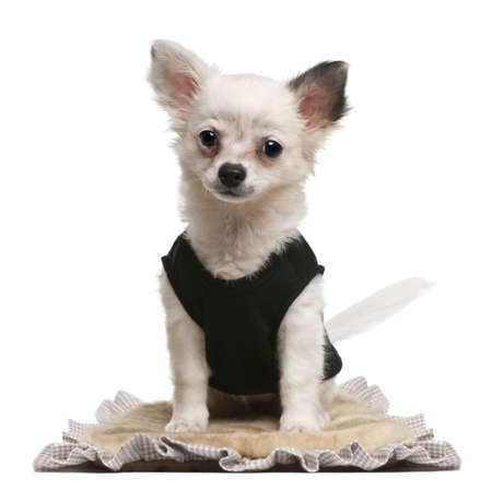 Chihuahua puppy, 2 months old, dressed up and sitting in front of white background photo