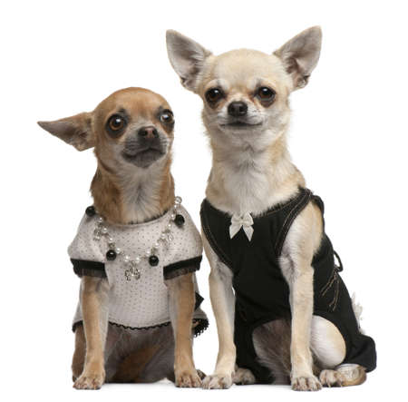 Chihuahua, 2 years old and 1 year old, dressed up and sitting in front of white background