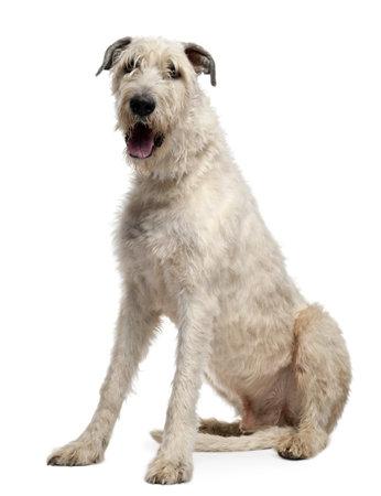 irish: Irish Wolfhound, 4 years old, sitting in front of white background Stock Photo