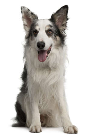Border Collie, 6 years old, sitting in front of white background Stock Photo - 8029626