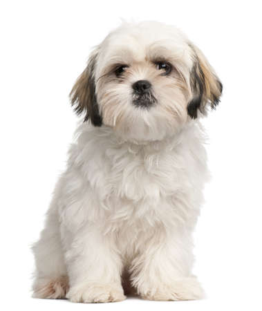 shih tzu: Shih Tzu puppy, 6 months old, sitting in front of white background Stock Photo