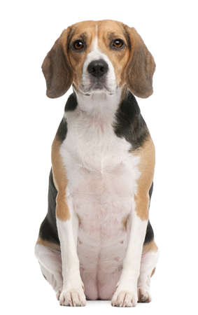 2 years old: Beagle, 2 years old, sitting in front of white background