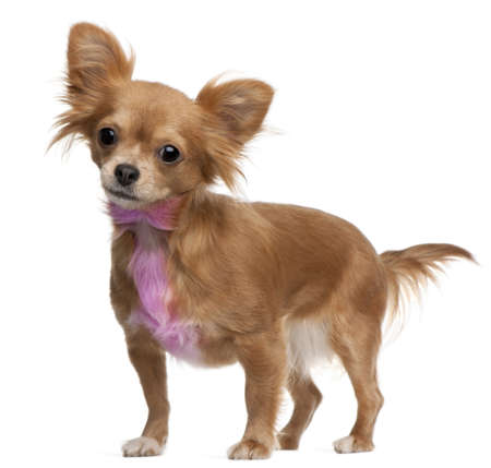 Chihuahua with pink bow-tie fur, 18 months old, standing in front of white background photo