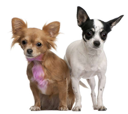 Chihuahuas, one with pink bow-tie fur, 18 months old, and 4 years old, in front of white background Stock Photo - 8029594