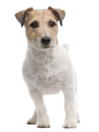 Jack Russell Terrier, 4 years old, standing in front of white background photo