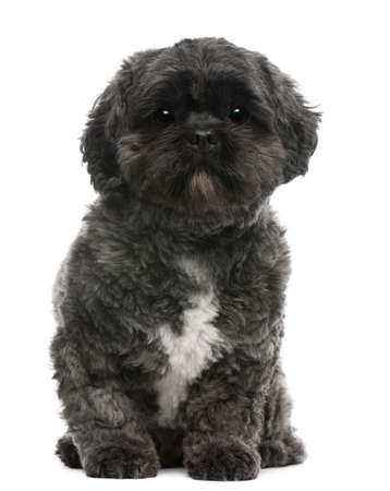 Lhasa Apso, 4 years old, sitting in front of white background photo