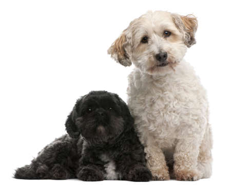 lying in front: Cross Breed dog, 8 years old, and Lhasa Apso, 4 years old, sitting in front of white background
