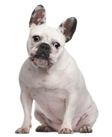 French Bulldog, 2 years old, sitting in front of white background photo