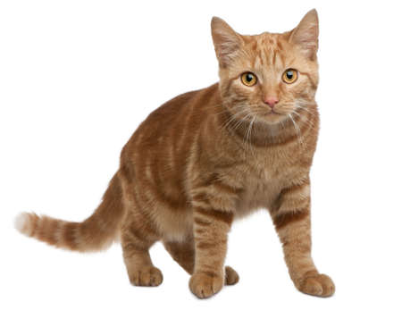 Ginger mixed breed cat, 6 months old, standing in front of white background photo