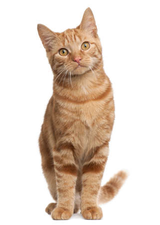 breeds: Ginger mixed breed cat, 6 months old, sitting in front of white background